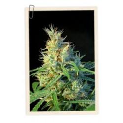 Psicodelicia 3 Sem. Sweet Seeds