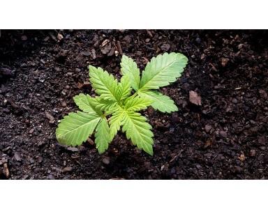 Cómo plantar marihuana